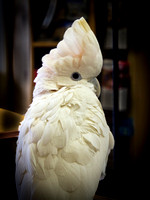 bird, cockatoo